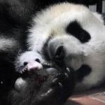 上野動物園「パンダの赤ちゃん」シャンシャン誕生